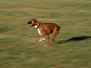 zooming boxer